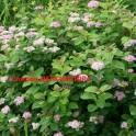 черенки растений почтой