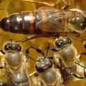 Пчелы (пчелосемьи) от опытного пчеловода