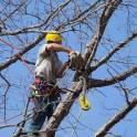Спил деревьев, обрезка деревьев в Климовске