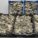продам грибы вешенка