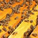 продаю пчел средне русских