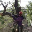 Спил больших и опасных деревьев частями в Чехове