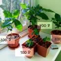 Кофе арабика (комнатное растение в горшке)
