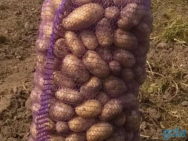 Картофель оптом, фотография 1