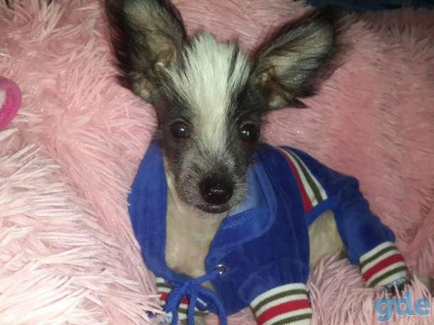 Продам щенков Китайской голой хохлатой собаки(пуховки), фотография 1