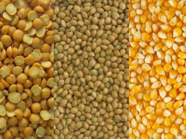 Пшеница, кукуруза, овес, ячмень в розницу, фотография 2