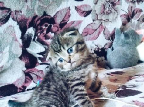 Резерв шотландских котят, фотография 2