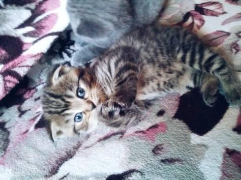 Резерв шотландских котят, фотография 3