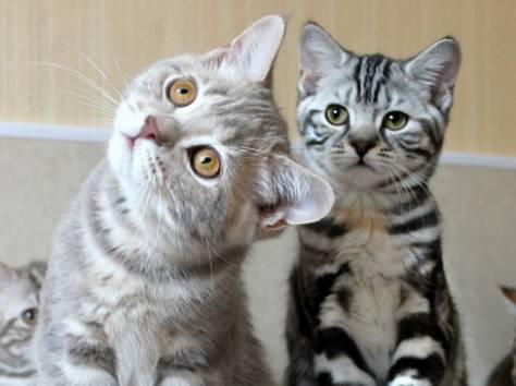 Британские мраморные котята из питомника VIVIAN., фотография 1