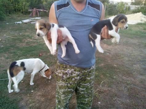 русская пегая гончая фото щенок
