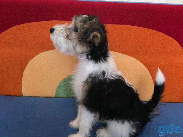 Продается щенок фокстерьер жесткошерстный, фотография 1
