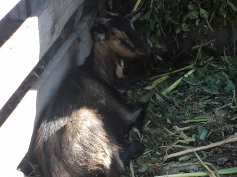 Продам коз, фотография 2