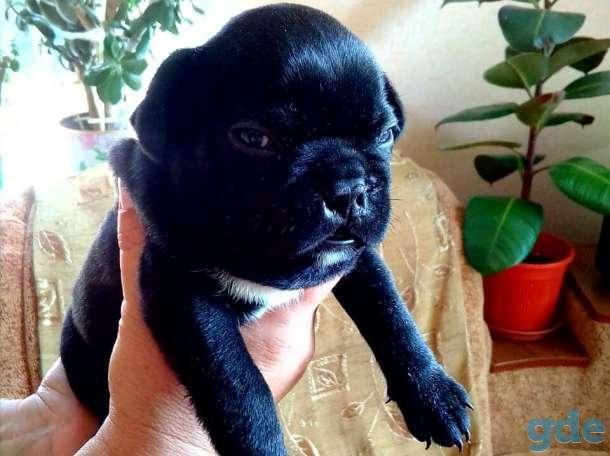 Продаются собаки породы французский бульдог, фотография 1