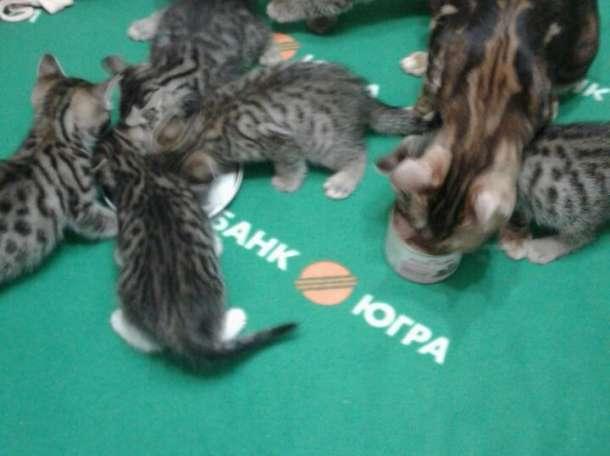 котята Бенгалочки и Курильского Бобтейла, фотография 1