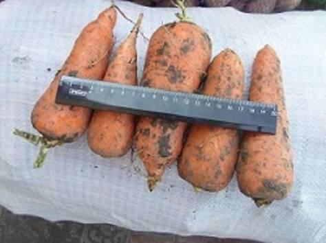 Продам морковь, фотография 1