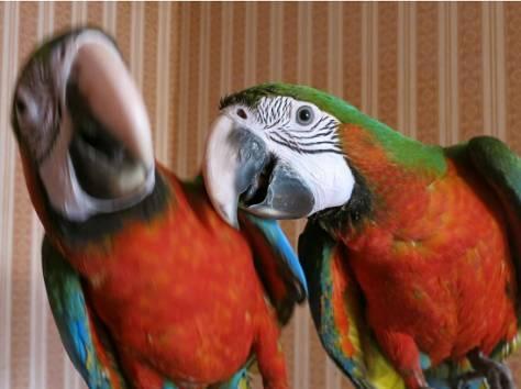 Гибриды попугаев ара - птенцы выкормыши из питомников Европы, фотография 3