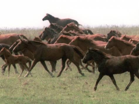 куплю лошадей, фотография 1