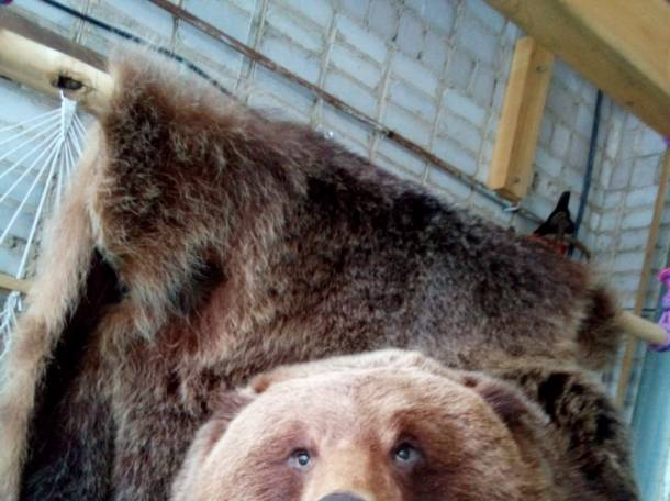 Продается шкура медведя, фотография 1