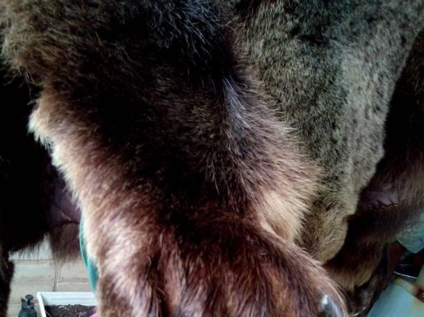 Продается шкура медведя, фотография 2