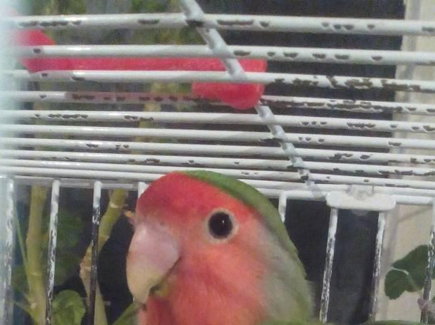 Продам попугаев неразлучников(девочка и мальчик), фотография 3