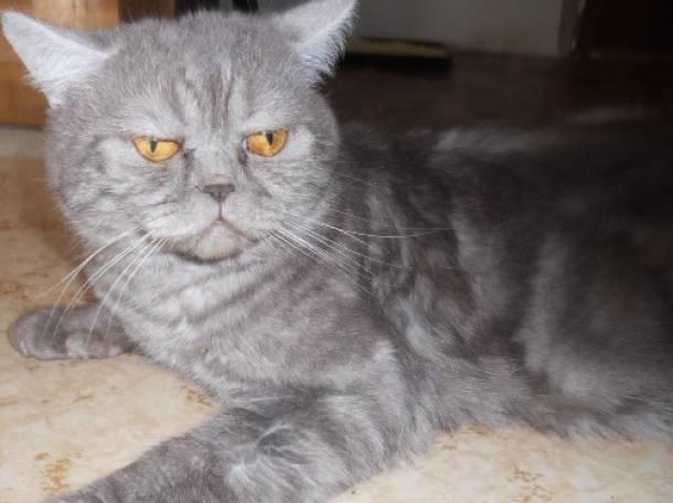 вязка с британским мраморным котом, фотография 2