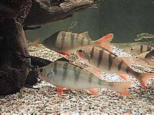 бокоплав озерний вікіпедія