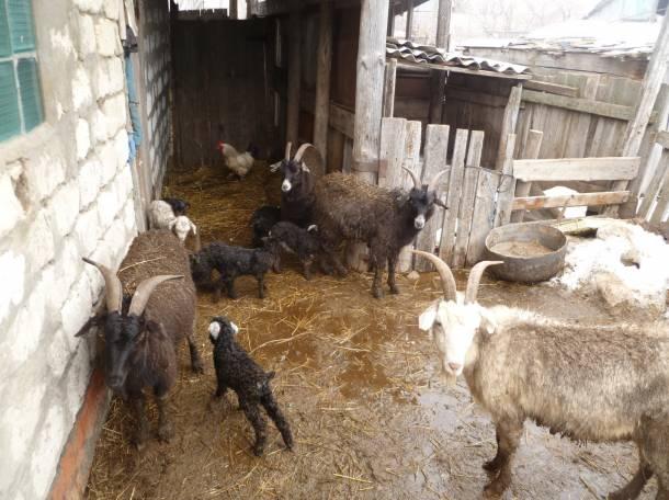 Продаю коз, фотография 1