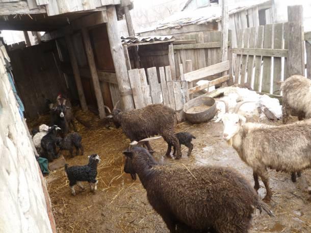 Продаю коз, фотография 3