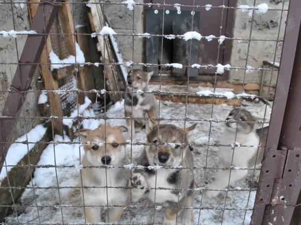 Щенки западно-сибирской лайки, фотография 2