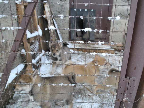 Щенки западно-сибирской лайки, фотография 4