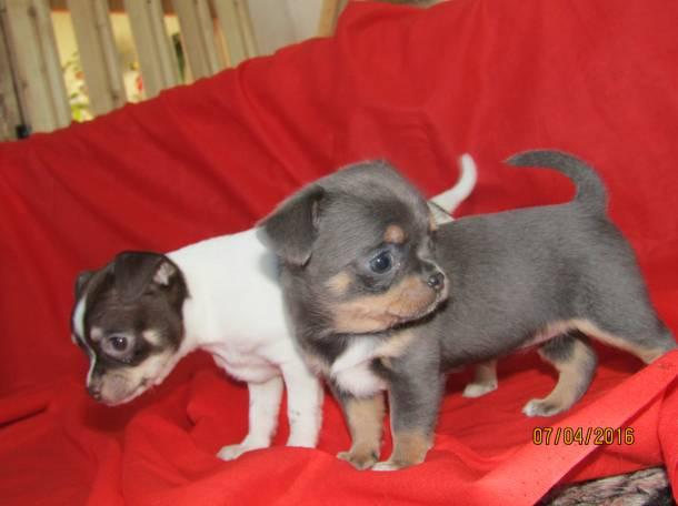 Продаются щенки чихуахуа, фотография 3