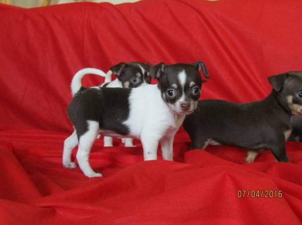 Продаются щенки чихуахуа, фотография 4