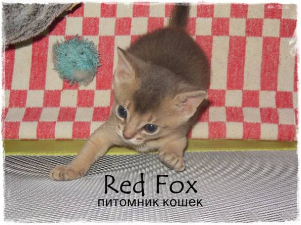 Абиссинские котята, фотография 1