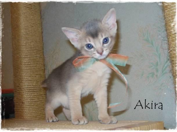 Абиссинские котята, фотография 4