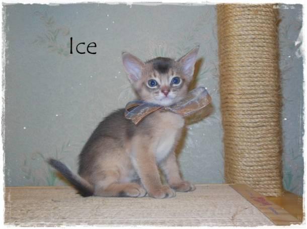 Абиссинские котята, фотография 5