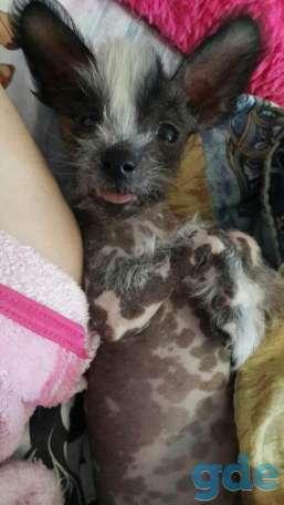 Продам щенков Китайской голой хохлатой собаки(пуховки), фотография 3