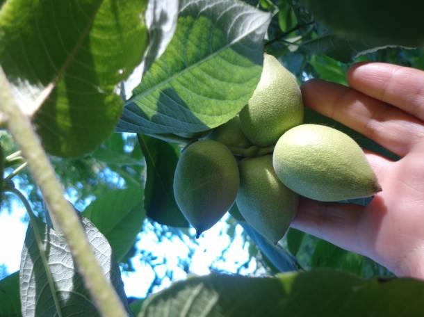 Саженцы манчжурского ореха, плоды, листья, фотография 1