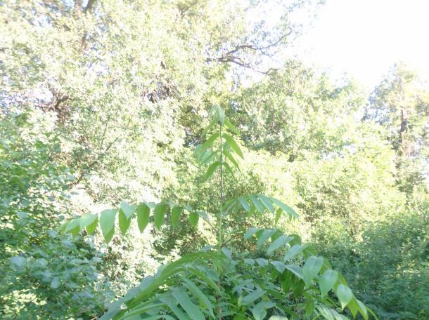 Саженцы манчжурского ореха, плоды, листья, фотография 4