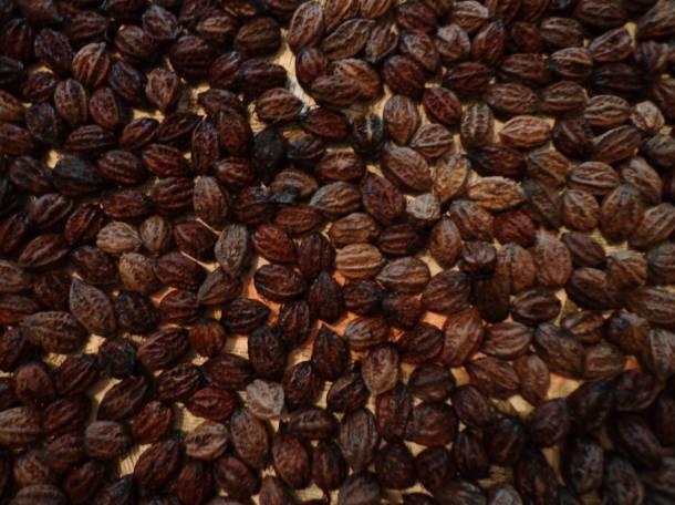 Саженцы манчжурского ореха, плоды, листья, фотография 5