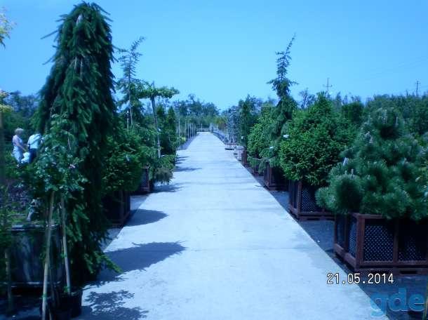 Саженцы хвойных и лиственных деревьев оптом, фотография 7