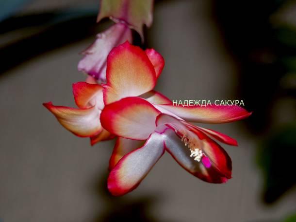 Адениумы обесум и ещё растения, фотография 3
