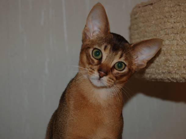 Абиссинские котята, фотография 2