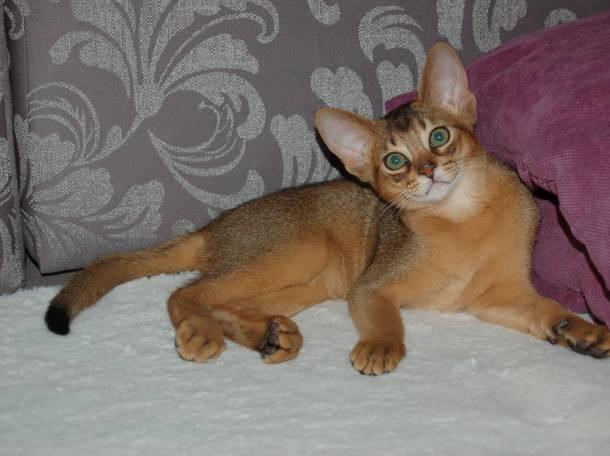 Абиссинские котята, фотография 3