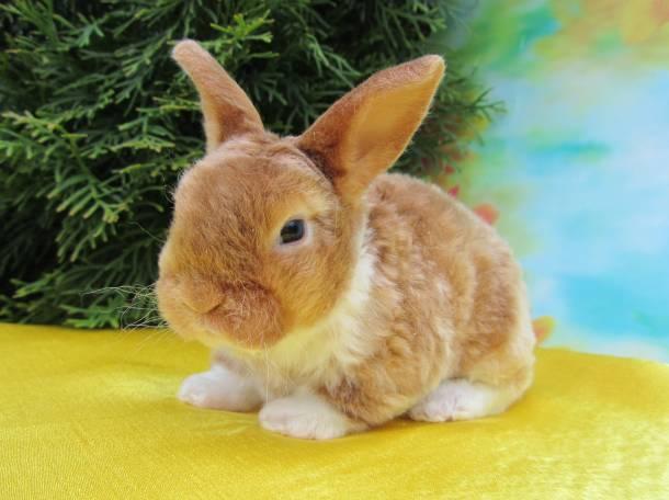 Домашние мини кролики рекс (плюшевые). Питомник декоративных кроликов. Большой выбор, фотография 1