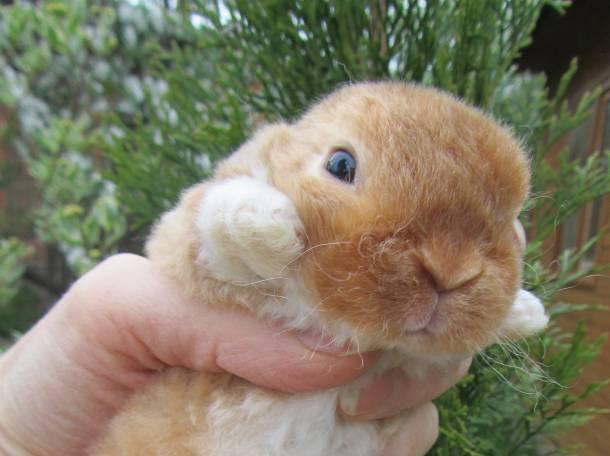 Домашние мини кролики рекс (плюшевые). Питомник декоративных кроликов. Большой выбор, фотография 3