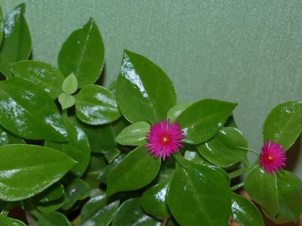 Разные суккуленты и другие растения, фотография 7
