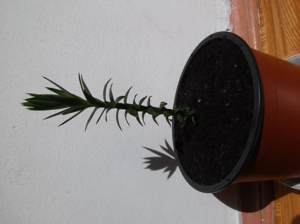 Араукария бразильская узколистная, фотография 1