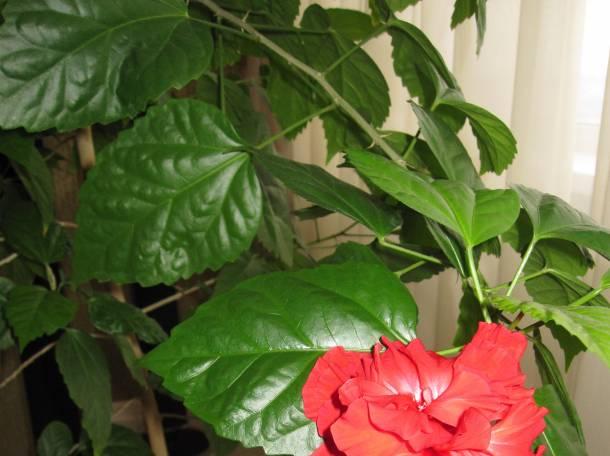 Продаю комнатное дерево китайская роза., фотография 5