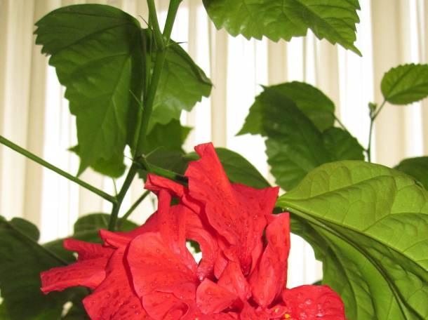 Продаю комнатное дерево китайская роза., фотография 6