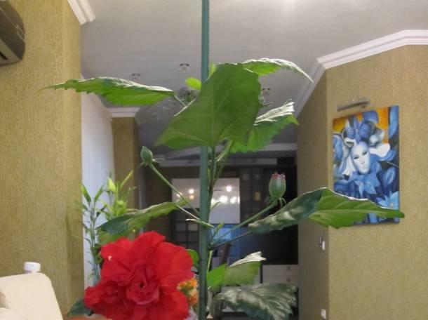 Продаю комнатное дерево китайская роза., фотография 8